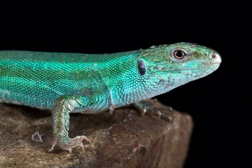 Wall Mural - Caucusus emerald lizard (Lacerta strigata)
