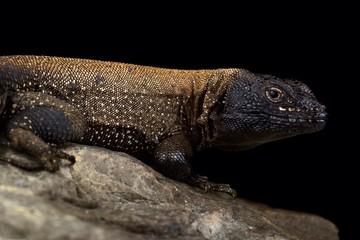 Wall Mural - Dark Whorltail Iguana (Stenocercus melanopygus)