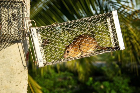 Mouse in spring trap cage hung with a pole. Trapping catch for removal rat that is pest and cause dirt with carriers of disease in the agricultural garden countryside.