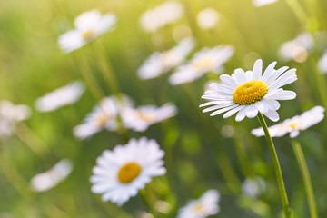 Photo sur Aluminium Marguerites Wild daisy flowers growing on meadow. Warm sunny defocused natural background.