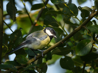Small bird, blue tit foraging for insects in a tree close up.