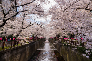Meguro River during cherry blossom time, Tokyo, Japan