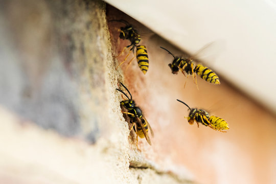 Wasps Causing Problem By Building Nest Under Roof Of House