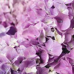 Fond de hotte en verre imprimé Hortensia Flowery texture for background. Beautiful blooming purple hydrangea flowers, close up