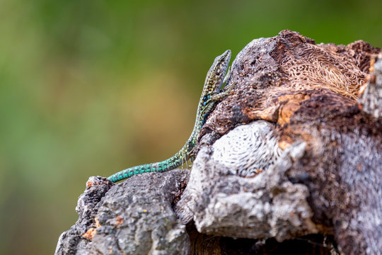 Tyrrhenian Wall Lizard on a rock near Santa Giulia beach, Corsica, France, Mediterranean