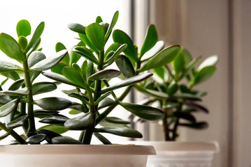 Poster Planten Succulent houseplant Crassula on the windowsill against the background of a window