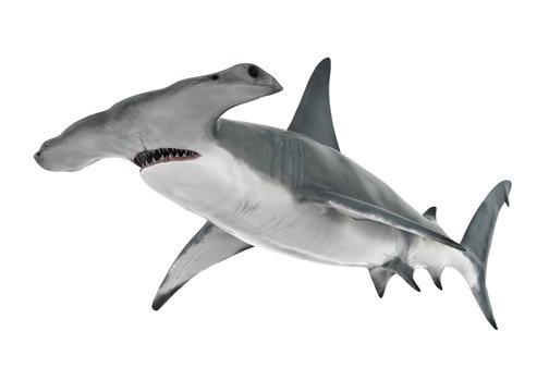 Hammerhead Shark Isolated