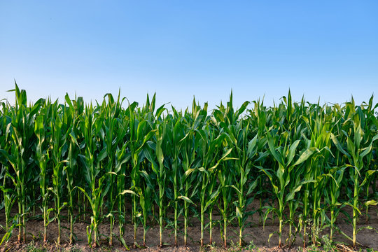 Closeup of a green cornfield with maize in Germany in July
