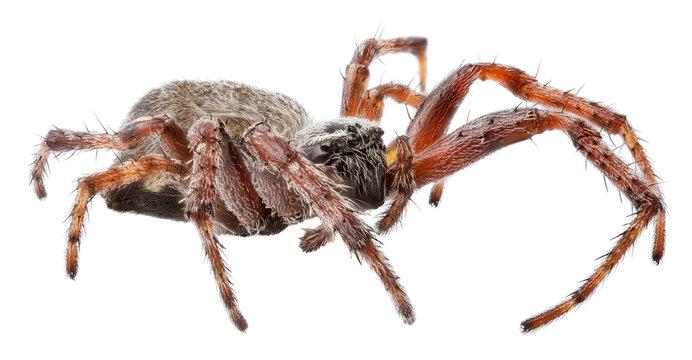 dark orb-weaver spider isolated on white