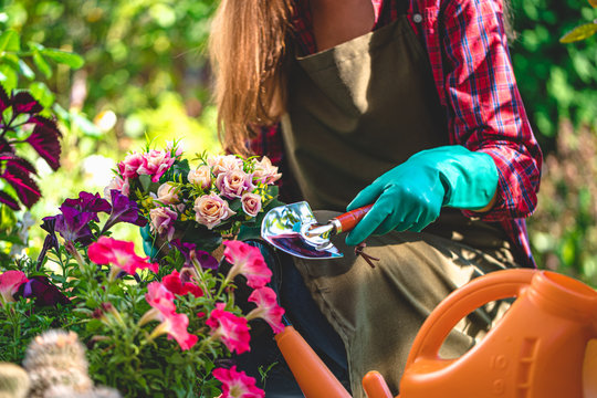 Gardener in gloves plants and growths flowers on the flower bed in home garden. Gardening and floriculture. Flower care