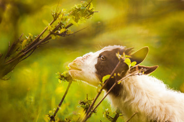 Little goat eating leaves
