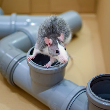 Pet rat inspecting installation tubes in a cardboard box