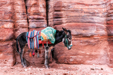 Foto op Canvas Ezel Bedouin donkey with saddle