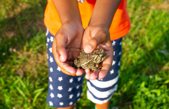 Young boy's gently hand holding American toad
