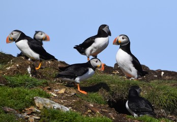 group of Atlantic Puffins in a grassy area on a cliff, Newfoundland Canada
