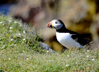 Atlantic Puffin in a grassy area on a cliff, Newfoundland Canada