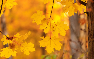 The leaves on the branches of maple