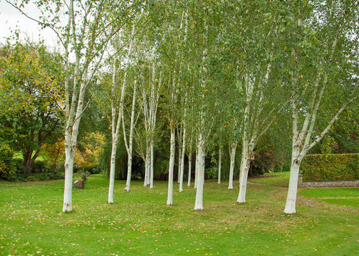 Silver birch trees in the countryside.