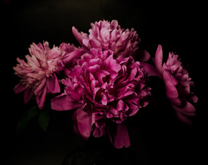 Big bright peony against black backdrop. Floral background.