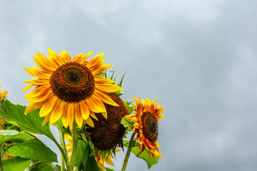 Horizontal image of bicolor annual sunflower (Helianthus annuus) blooms against a cloudy sky, with room for copy