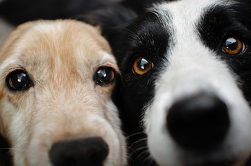 border collie and spaniel dog beautiful photo best friends