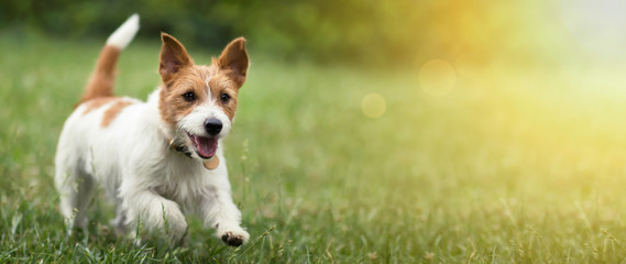 Poster Chien Happy active jack russel pet dog puppy running in the grass in summer, web banner with copy space