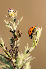 Aphids and a useful ladybug eating on a plant