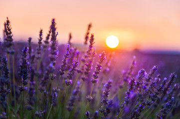 Fotobehang Lavendel Lavender flowers at sunset in Provence, France. Macro image, shallow depth of field