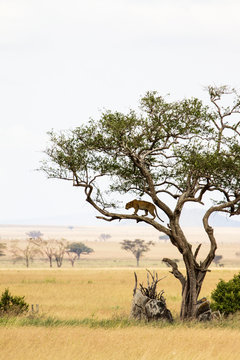 Leopard climbing a tree in the Serengeti