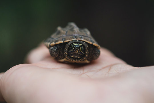 Baby Malayemy,Baby turtle