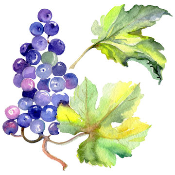 Grape berry healthy food in a watercolor style isolated. Watercolor background set. Isolated fruit illustration element.