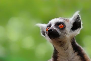 Fototapete - Little popular monkey - lemur