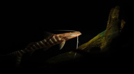 Marine Creature - Whisker Fish