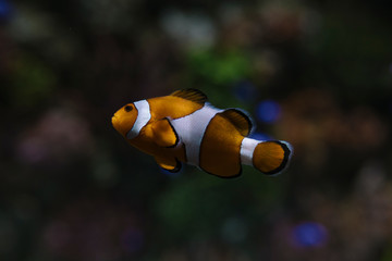 Marine Creature - Clown Fish