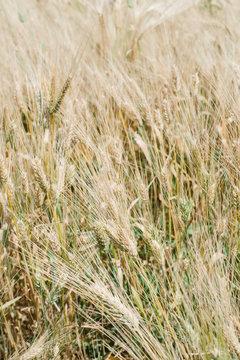 Wheat Grass Background