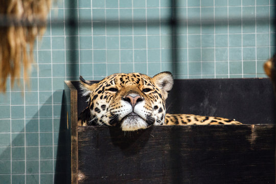 Close up of leopard in zoo