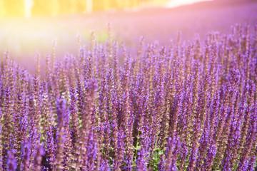 Printed kitchen splashbacks Eggplant Lavender field. Sunrise over the french fields.