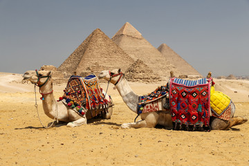 Camels in Giza Pyramid Complex, Cairo, Egypt