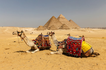 Photo sur Toile Chameau Camels in Giza Pyramid Complex, Cairo, Egypt