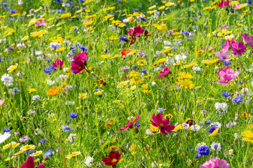 Foto auf AluDibond Wiesen / Sumpfe field of colorful, wild flowers