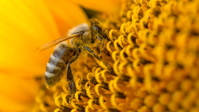 Bee in a yellow pollen, collects sunflower nectar