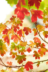 Closeup of colorful bright autumn leaves