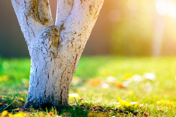 Fototapeten Gelb Whitewashed bark of tree growing in sunny orchard garden on blurred green copy space background.