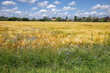 Gerstenfeld mit Kornblumen und Echter Kamille am Feldrand. Im Hintergrund das Dorf Hammoor in Schleswig-Holstein, Deutschland