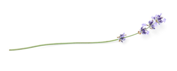 Keuken foto achterwand Lavendel Beautiful lavender flowers on white background
