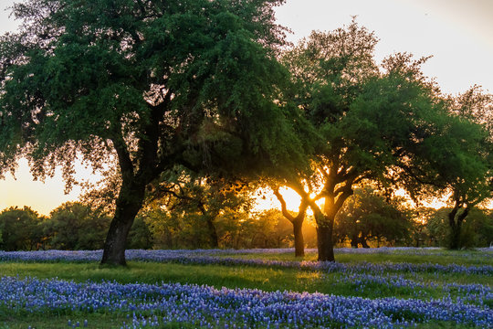 Fielld of bluebonnets wildflowers under large trees in field at sunset