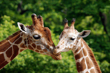 Papiers peints Girafe The giraffe close up (Giraffa camelopardalis) is an African even-toed ungulate mammal, the tallest of all extant land-living animal species, and the largest ruminant.