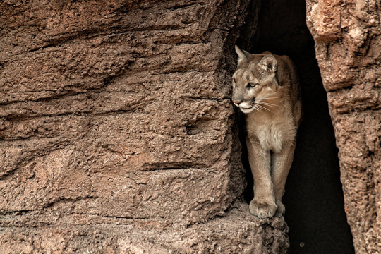 Mountain Lion coming out of a cave and walking on a ledge.