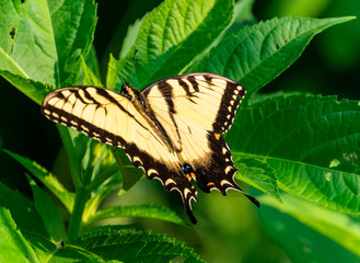 Yellow and black swallowtail butterfly on a leaf