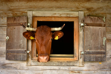 brown cow looking through the wooden window of an alpine stable at Bavarian alps, Berchtesgaden national park Wall mural